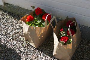 Pelargoner om våren på Herrgården i Grythyttan