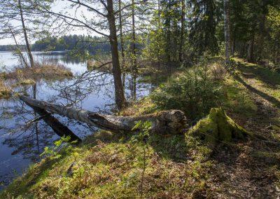 Naturstigen på våren, spår av bäver